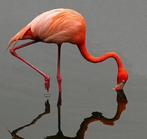 Фламинго перелетная птица или нет