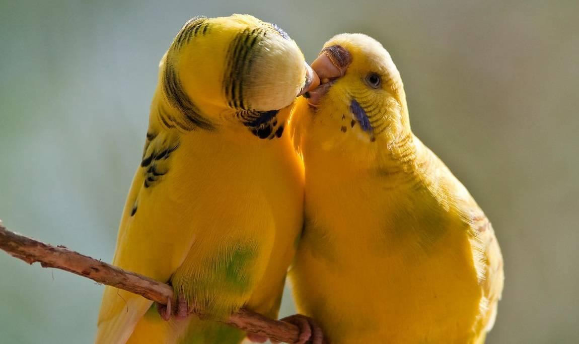 Средняя продолжительность жизни волнистых попугаев