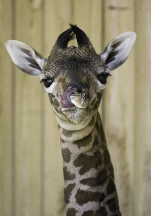 Рост и вес жирафа