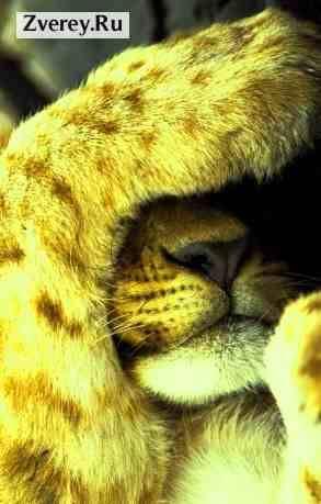 Описание льва для детей