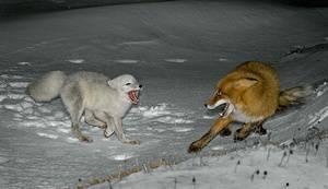 Белая лиса животное