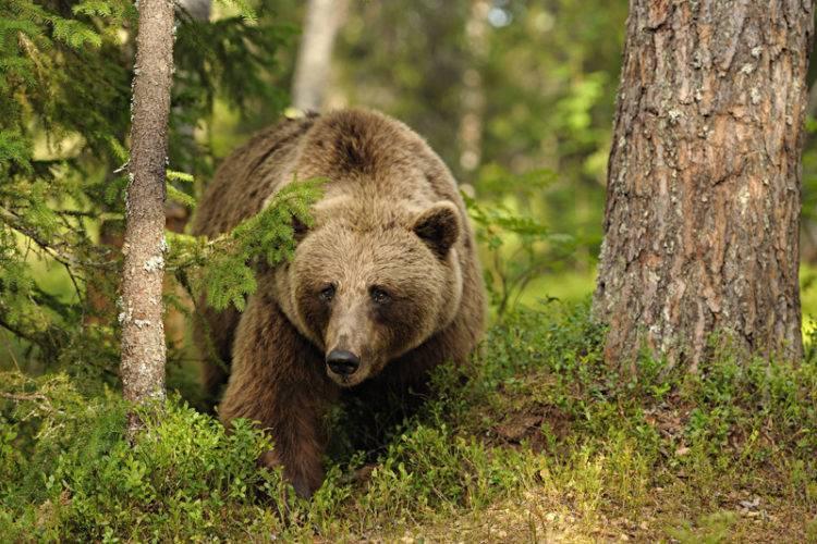 На кого охотится медведь бурый