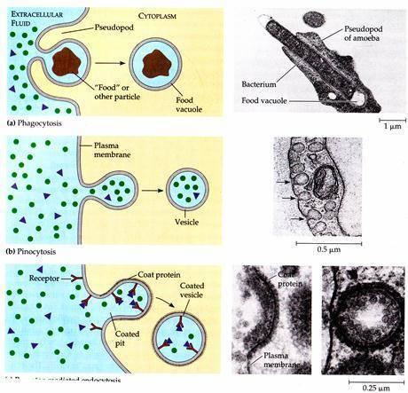 Какие функции выполняет плазматическая мембрана в клетке