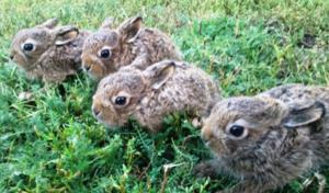 Кролик и заяц разница
