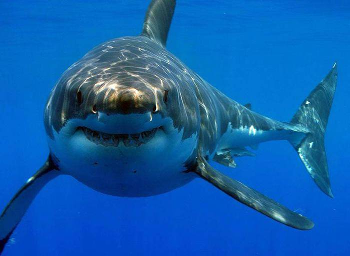 Акула млекопитающее или нет