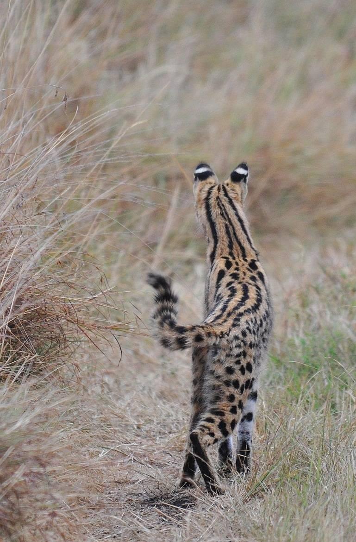 Африканский сервал фото
