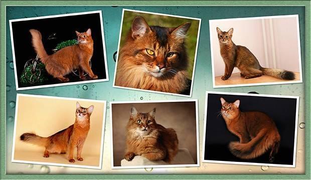 Кошка похожая на лису