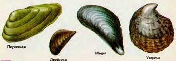 Где живут моллюски