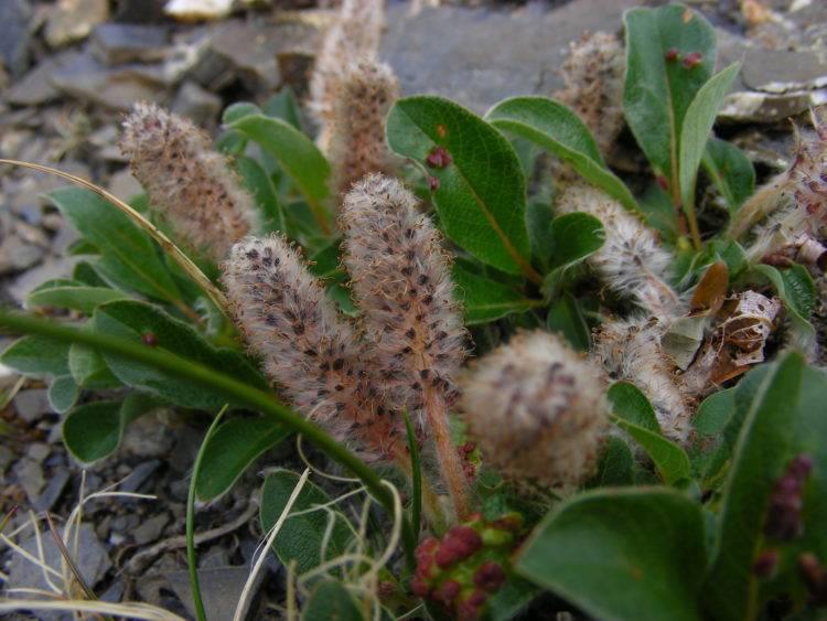 Сообщение на тему растения тундры