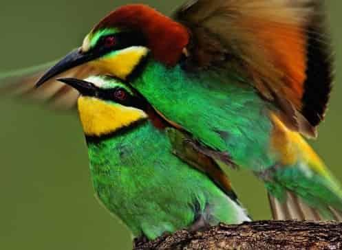 Пчелоед птица фото
