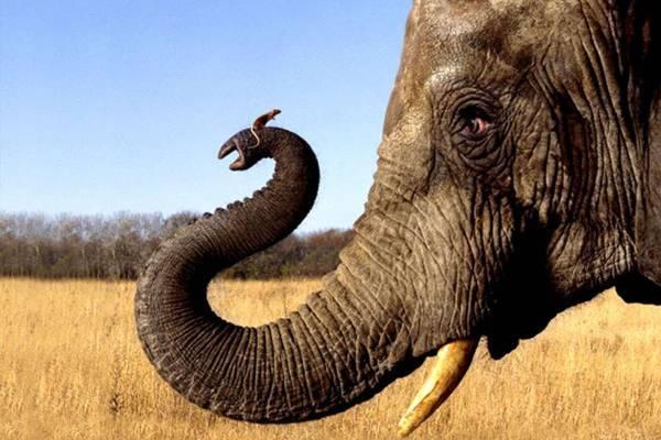 Толщина кожи слона