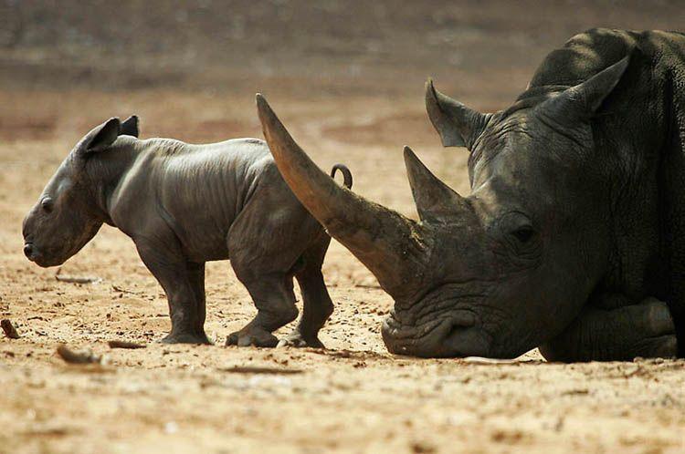Почему их так назвали носорог
