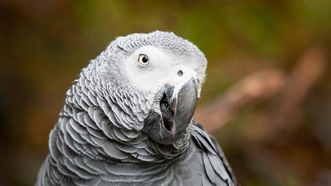 Сколько живёт попугай жако