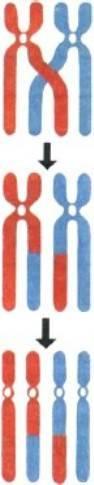 Какое значение имеет независимое расхождение гомологичных хромосом