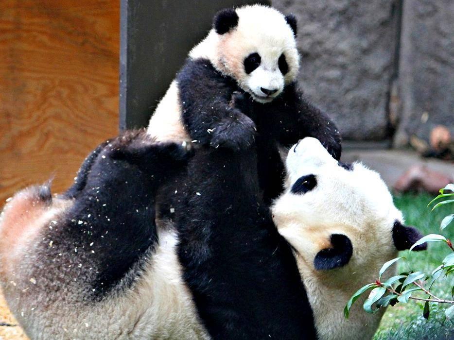 Рост панды