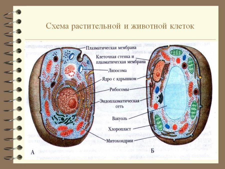 Схема строения животной клетки рисунок