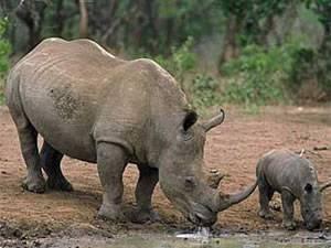 Сколько рогов у носорога