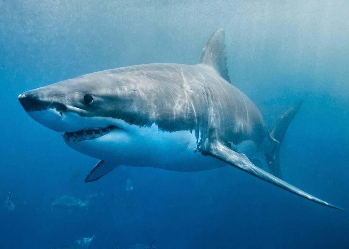 Где живет белая акула