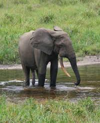 Какого цвета бывают слоны