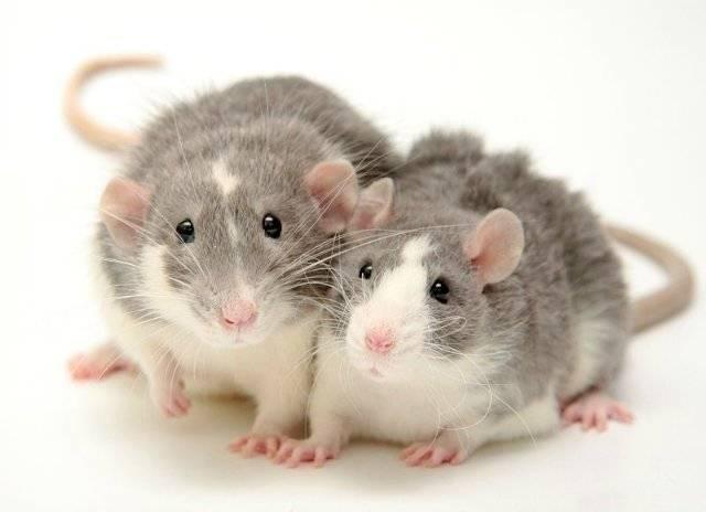 Домашние крысы породы фото