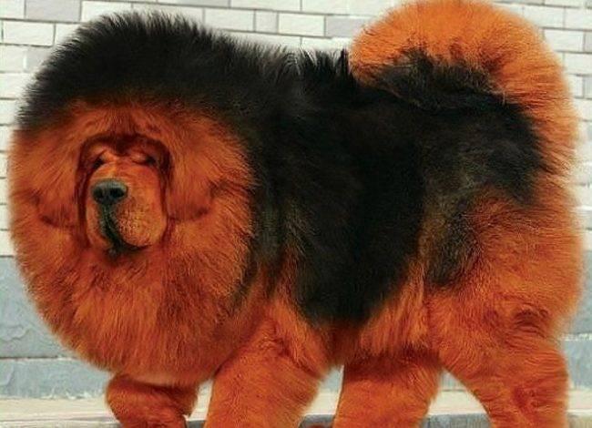Пушистые собаки порода фото