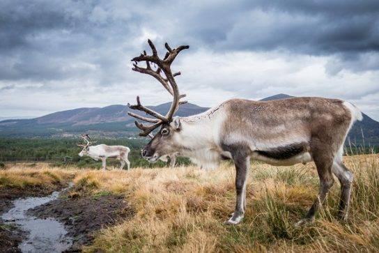 Животные тундры сообщение 4 класс северный олень