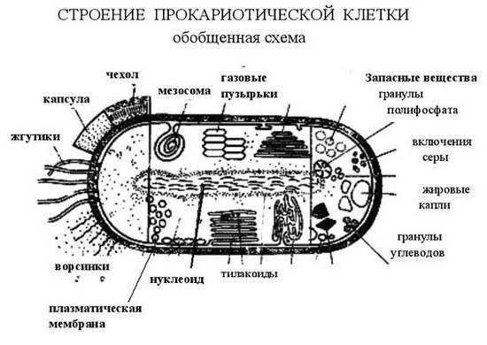Что входит в состав клеток прокариот
