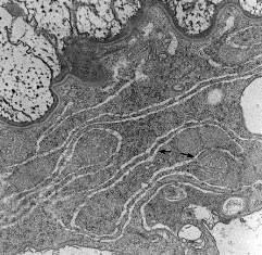 Клеточные органоиды выполняют различные функции обеспечивающие
