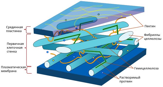 Клеточная стенка растительной клетки состоит из
