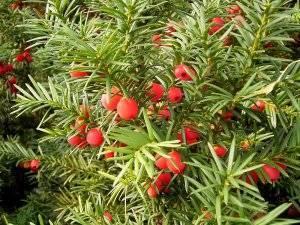 Растения хвойных лесов