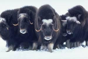 Как выглядит овцебык фото
