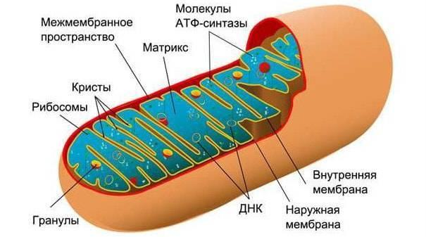 Что такое митохондрии в биологии определение