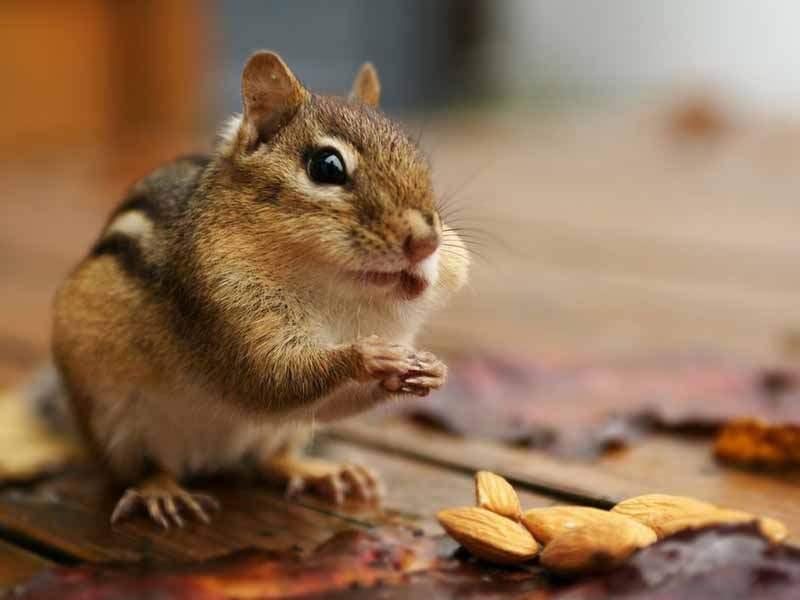 Можно ли хомякам кедровые орехи