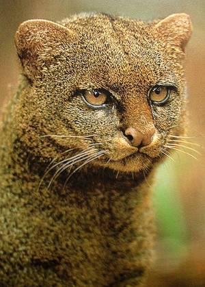 Кошачьи семейство отряда хищных