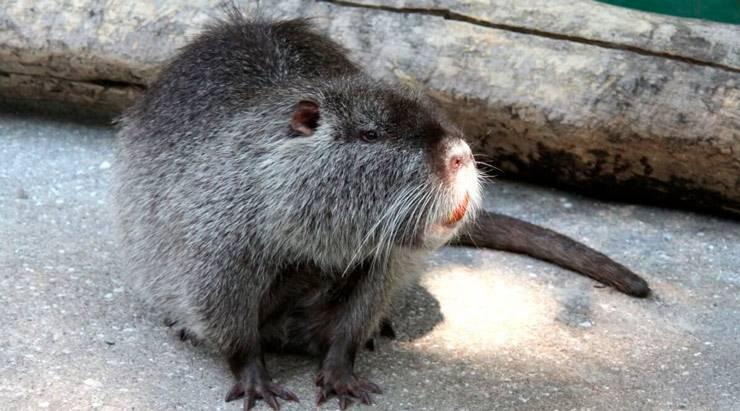 Размеры крыс