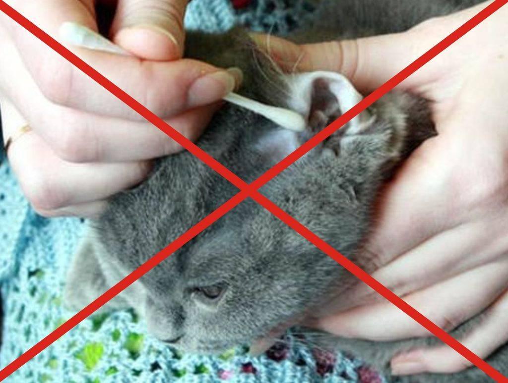 Как чистить уши кошке в домашних условиях