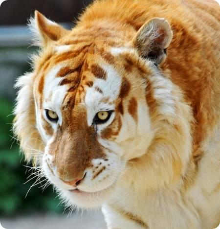 Подвиды тигров
