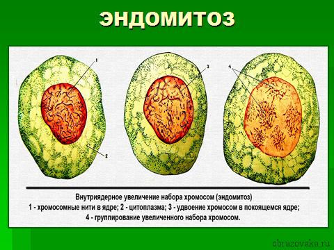 Клеточный цикл таблица