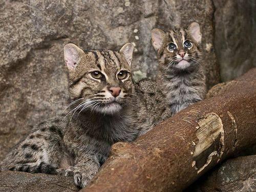 Кот рыболов порода