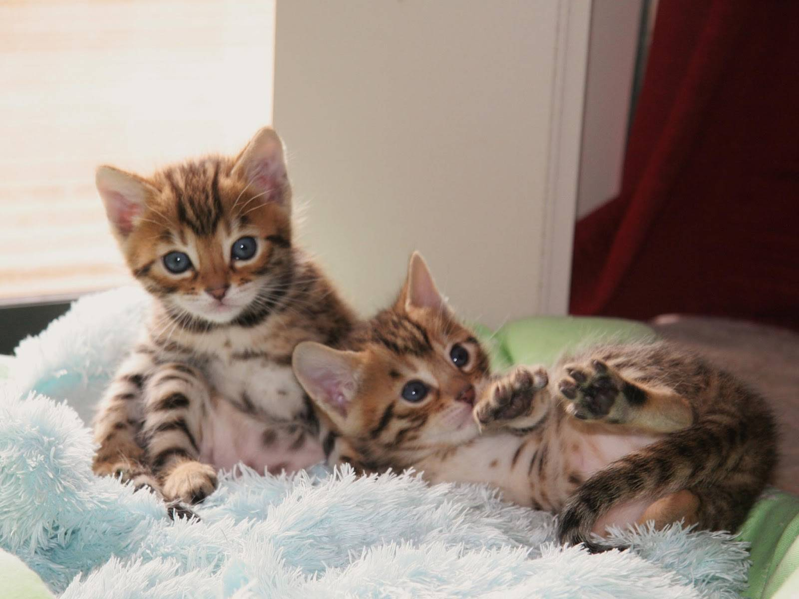 Кошка с окраской леопарда