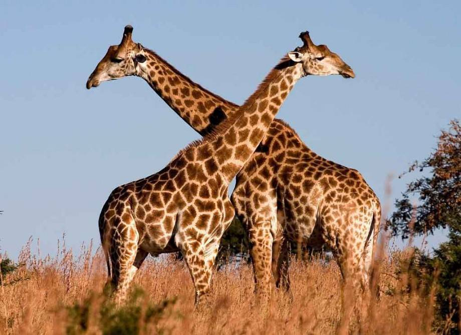Самое интересное о жирафах