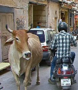 Какое животное считается священным в индии