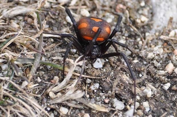 Чем отличаются насекомые от паукообразных