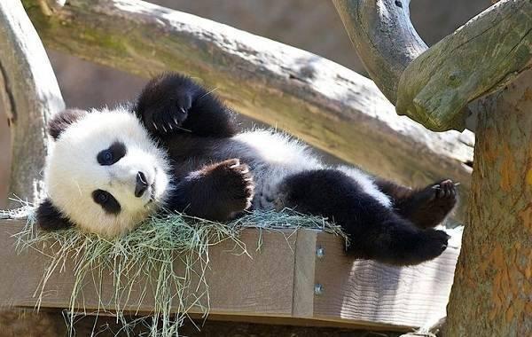 Где обитают панды страна