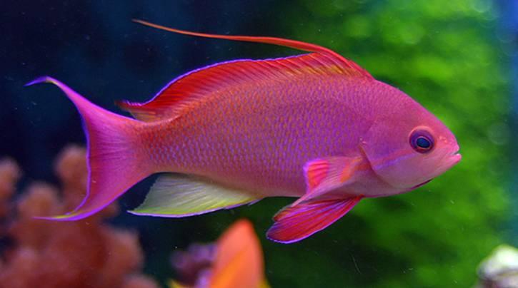 Самая красивая рыбка в мире фото