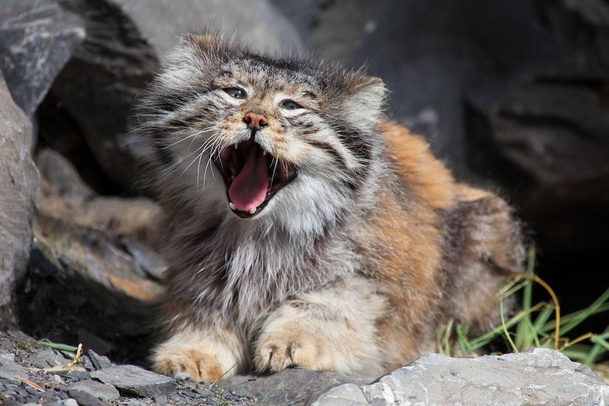 Пятнистая дикая кошка