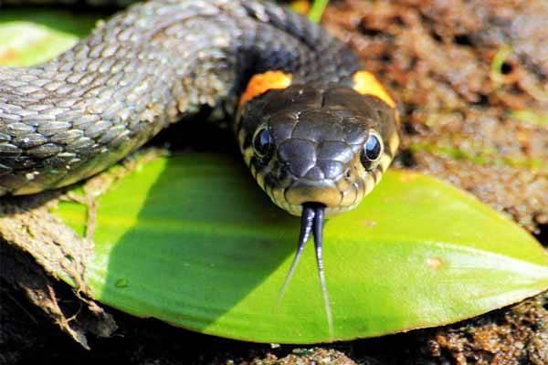 Зачем змея высовывает язык