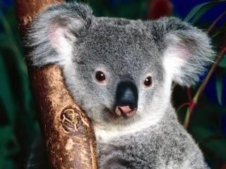 Информация о коале кратко