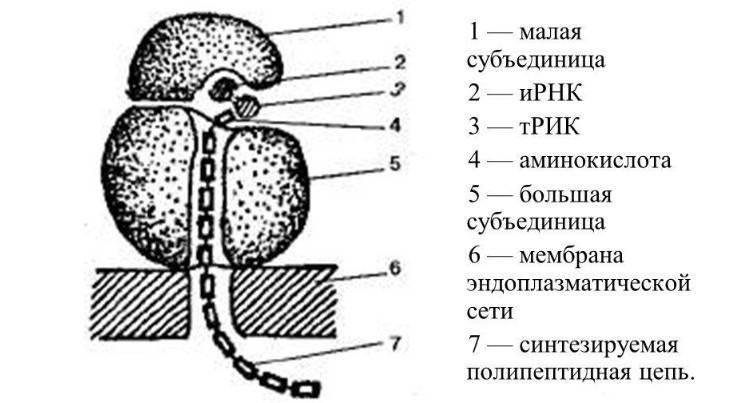 В рибосомах происходит синтез