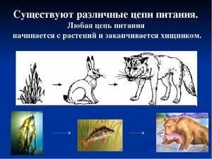 Примеры цепей питания в природе